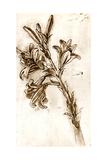 Leonardo Da Vinci's Lilies