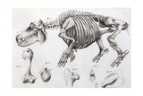 1812 Hippopotamus Skeleton by Cuvier