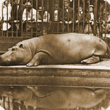 Obaysch the Hippopotamus  London Zoo  1852  by Don Juan  Comte De Montizón