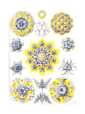 Examples of Polycyttaria 'Kunstformen Der Natur'  1899