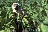 Worker Gathering Tobacco Leaves  Copan Valley  Honduras