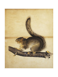 Eastern Grey Squirrel in Full Winter Coat  C1840s