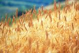 Field of Organically-grown Wheat (Triticum Sp)