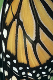 Monarch Butterfly Wing Detail