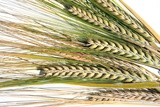 Wheat Ears (Triticum Sp)