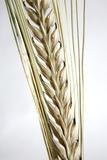 Wheat Ear (Triticum Sp)