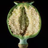 Cut Seed Capsule of Opium Poppy