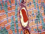 Cardiac Muscle And Capillary  TEM