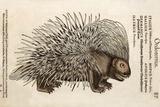 1560 Conrad Gesner Crested Porcupine