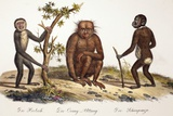1824 Schinz Apes  Gibbon  Orang  Chimp