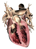 Human Heart  Anatomical Artwork