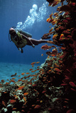 Sea Goldie Fish And a Scuba Diver
