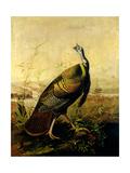 The American Wild Turkey Cock