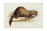 A Weasel  1832
