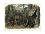 Ursus Americanus  Var Cinnamonum (Cinnamon Bear)  Plate 127 from 'Quadrupeds of North America' …