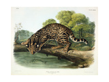 Felis Pardalis (Ocelot or Leopard-Cat)  Plate 86 from 'Quadrupeds of North America'  Engraved by…