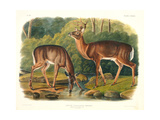 Cervus Virginianus (Common or Virginian Deer)  Plate 136 from 'Quadrupeds of North America' …