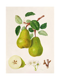 The D'Auch Pear  1817