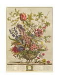 February  from 'Twelve Months of Flowers' by Robert Furber (C1674-1756) Engraved by Henry Fletcher