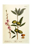 The Almond Tree  Plate 105 from 'A Curious Herbal'  Published 1782
