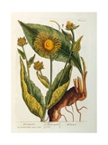 Elecampane  Plate 473 from 'A Curious Herbal'  Published 1782