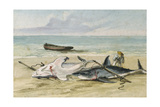 Man Measuring Two Dead Sharks on a Beach  Walvis Bay  Namibia  1861