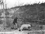 Searching for Truffles  C1900