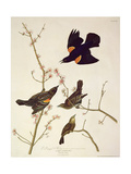 Red-Winged Starling  from 'Birds of America'  Engraved by Robert Havell (1793-1878) Published 1820