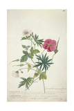 Geranium Two Intertwined Stems of Different Species  1767