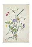 Lathyrus Nissolia  Chrysanthemum Leucanthemum  Linum Perenne  Lysimackia Nemorum  1767