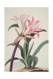 Amaryllis Belladonna  1761