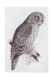 Great Cinereous Owl  from 'The Birds of Great Britain'  Published London  1862-73