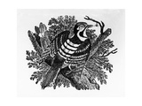 The Barred Woodpecker  Illustration from 'The History of British Birds' by Thomas Bewick  First…