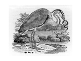 Heron  Illustration from 'A History of British Birds' by Thomas Bewick  First Published 1797
