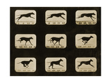 Greyhounds Running  from the 'Animal Locomotion' Series  C1881