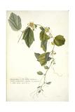 Passiflora Holosericea (Passion Flower)