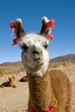 Domesticated Llama  Argentina
