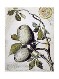 Branch of Buffalo Pear Tree  Showing Fruit and Leaves  1849