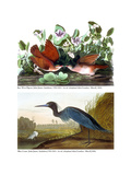 Key West Pigeon and Blue Crane  C1833-36