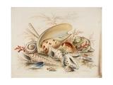 Study of Sea Shells  1876