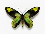Queen Victoria's Birdwing Butterfly
