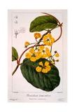 Banisteria Tomentosa  1836