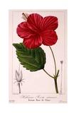 Hibiscus Rosa-Sinensis  1836