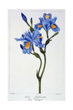 Fringed Iris  1836