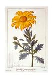 Calenudla Officinalis  or Pot Marigold  1836