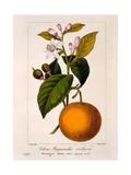 Sweet Orange: Citrus Sinensis Var Bigaradia Violacea  1836