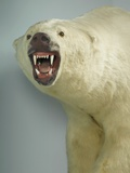 Polar Bear Shot by Cva Peel