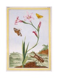 L'Ixia (Flesh-Coloured Ixia) and Stag Beetle  C1776