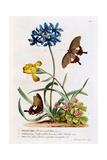 Polianthes  Oxalis and Iris  1749