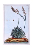 Aloe  Illustration from 'Collection Precieuse Et Enluminee Des Floura'  by Pierre Joseph Buchoz …